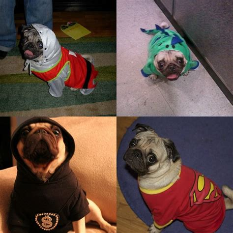 pug costumes uk 25 best ideas about pug costume on pug puppies pugs in costume and black pug