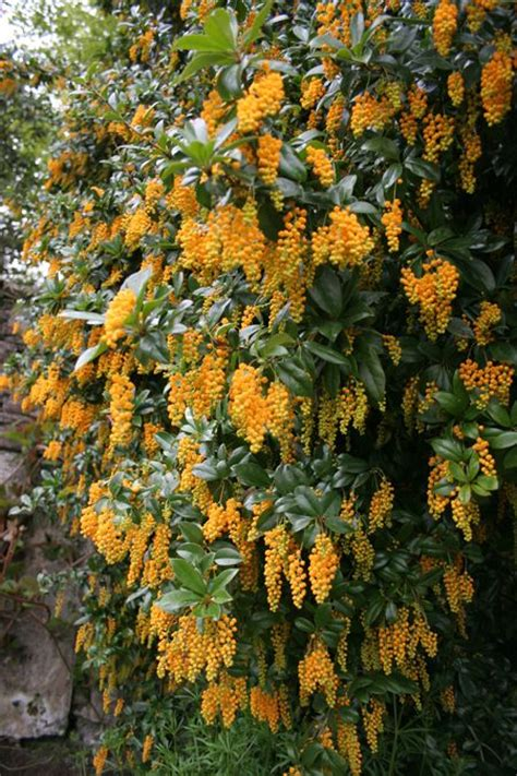 evergreen shrub with yellow flowers 1000 ideas about evergreen shrubs on shrubs