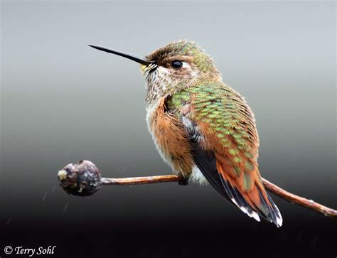 rufous hummingbird photos photographs pictures