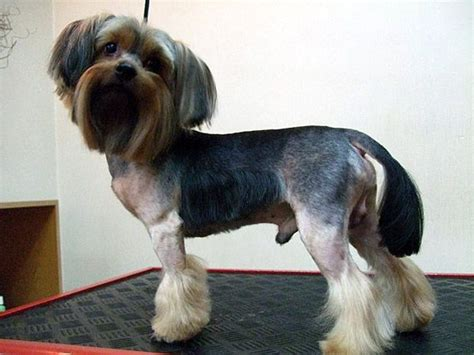yorkie with undocked 17 best images about yorkies with tails undocked yorkies on coupe