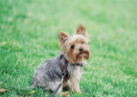 hip problems in yorkies learn about the terrier breed from a trusted veterinarian
