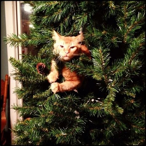funny wayscto keep cats off christmas tree these 20 cats in trees will give you for the win zimbio