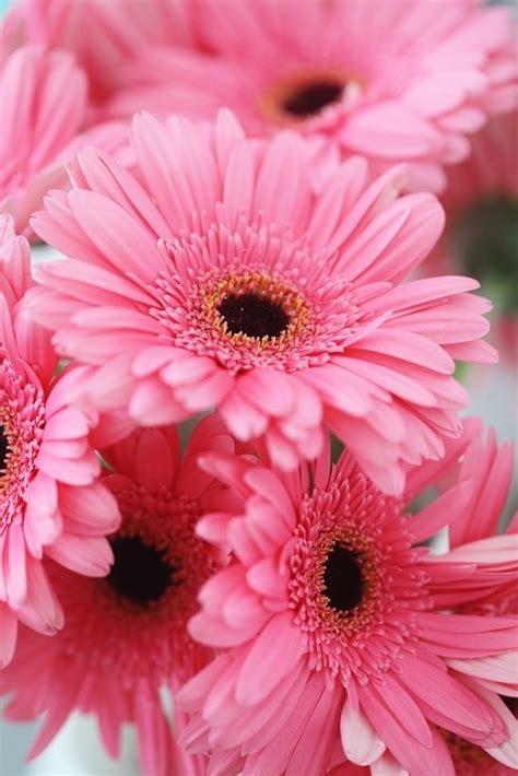 gerber daisies gerber daisies flowers more pinterest