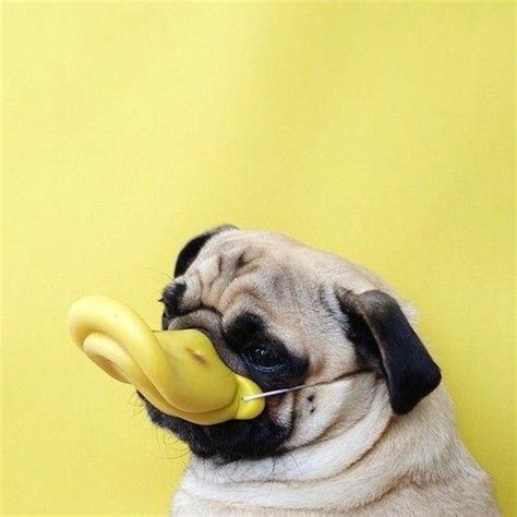 pug puppies in costumes pug puppy costume wallpaper