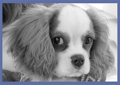 st charles puppy st charles cavalier animal