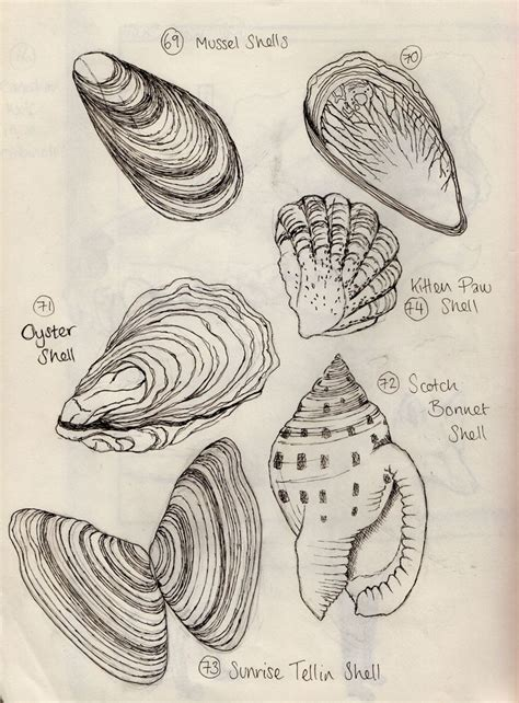 sketchbook x drawings shells observational sketchbook drawings search