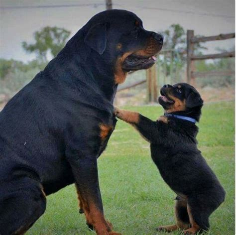 best rottweiler names 1406 best quot rottweiler quot images on baby puppies rottweiler puppies and