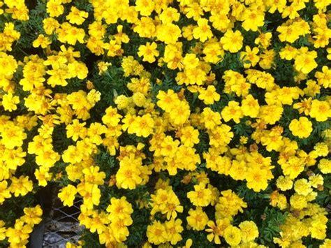 imagenes tumblr amarillas las 25 mejores ideas sobre flores amarillas en pinterest y