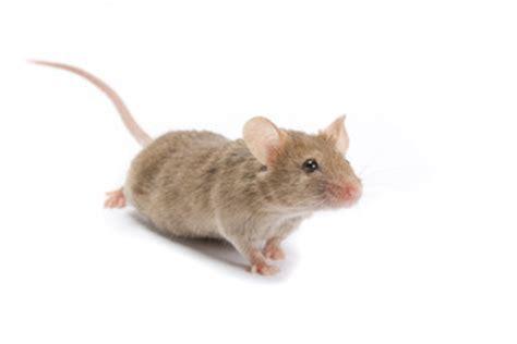 mit was mäuse fangen mausefallen aufstellen so fangen sie m 228 use lebend