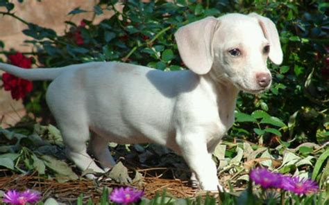 white dachshund puppies white dachshund animals dachshunds and animal