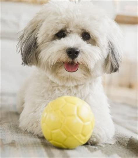 havanese coton de tulear mix 17 best images about designer dogs mixed breeds on shih poo puppys and