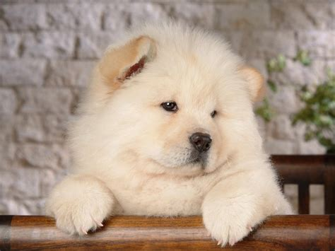 puppy chow chow chow breed guide learn about the chow chow