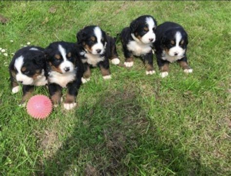 bernese mountain puppies illinois bernese mountain puppies for sale chicago il 234009