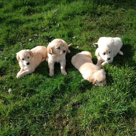 2 year golden retriever for sale golden retriever puppies for sale morecambe lancashire pets4homes