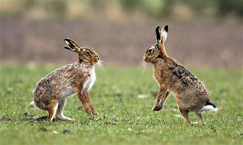 program foto hare stayl european hare a z of pest animals pest animals pests