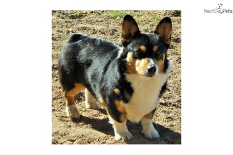 corgi puppies colorado corgi puppy for sale near denver colorado 99cea8bb c561