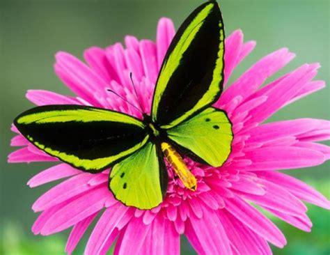 imagenes mariposas bellas lista las mariposas m 193 s hermosas del mundo
