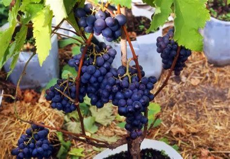 tanaman anggur  pot budidayaku
