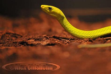 how to if a is stupid quot how to tell if a snake is venomous quot trick