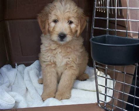crates for puppies crate sale free shipping aussiedoodle and labradoodle puppies best