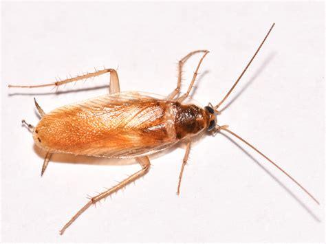 Kakerlaken Bilder by Brown Banded Cockroaches Identification