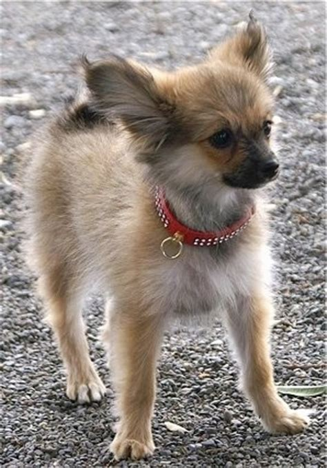 papillon pomeranian mix for sale papillon pomeranian mix puppies for sale