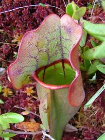 press resources an inside look at pitcher plants 4 1 13 harvard forest