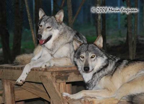 bonded pair cascadia wolves books wolf pictures courting