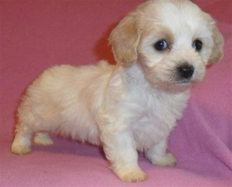 cavachon puppies ohio adorable cavachon puppies for sale adoption from ohio butler ohio adpost