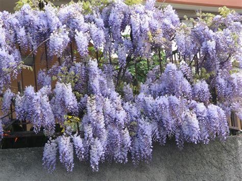 foto glicine in fiore aiutiamoli a fiorire speradisole s