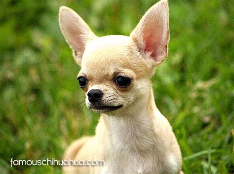 chihuahua breed chihuahua breed standards official akc standard of the chihuahua breed chihuahua