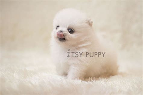 white teacup pomeranian for sale sold micro teacup pomeranian itsy puppy teacup microteacup puppies for