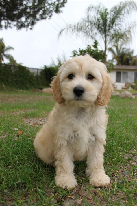 Cavapoo Shedding by Cavapoo Looks Just Like Puppy Pups