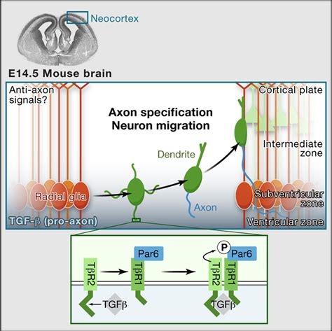 Gfp Kaos Cp 72 tgf β signaling specifies axons during brain development cell
