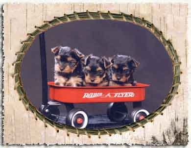yorkie puppies for sale in michigan ebay teacup dogs for sale in michigan breed dogs spinningpetsyarn