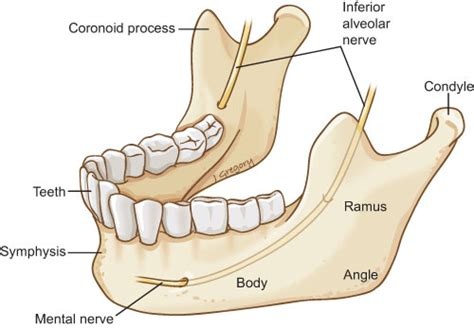 mandible diagram human anatomy angle of mandible anatomy free anatomy of