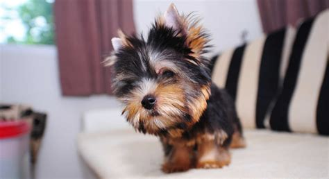 legged yorkie the terrier breed a complete guide to the yorkie