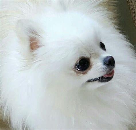 vanderpump pomeranian breeder 17 best images about dogs pomeranians on westminster show