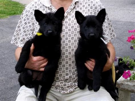 black and german shepherd puppies black german shepherd puppies 18 desktop wallpaper dogbreedswallpapers