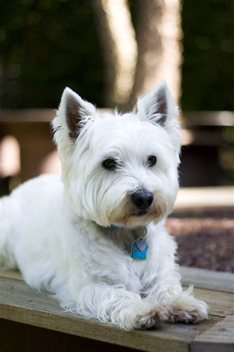 pictures of haircuts for westies west highland terrier haircut www imgkid com the image