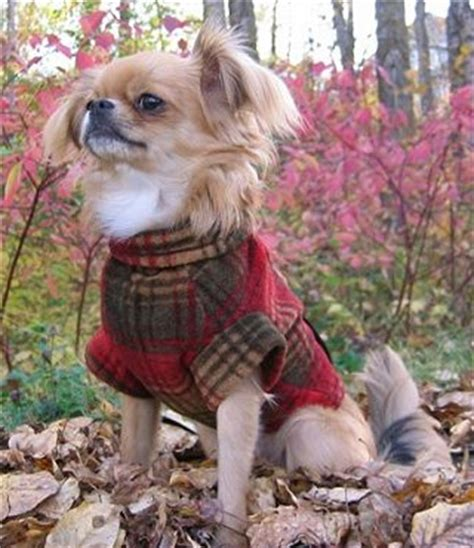 chihuahua shih tzu mix pictures learn about the shih tzu chihuahua mix aka shichi chi tzu soft and fluffy