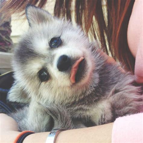mini husky puppies 1000 images about puppies on mini huskies puppys and miniature husky