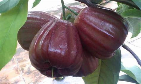 Jambu Dalhari bibit tanaman buah jambu air dalhari