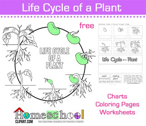 Seed Worksheets For Kindergarten by Seed To Plant Coloring Worksheet