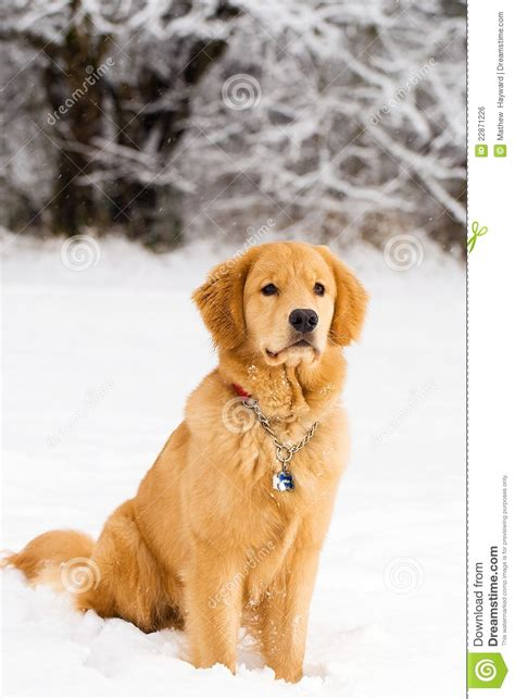 golden retriever in the snow handsome golden retriever in the snow royalty free stock image image 22871226