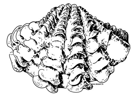 giant clam shell drawing www pixshark com images