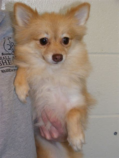 pomeranian pregnancy pomeranian pregnancy breeds picture