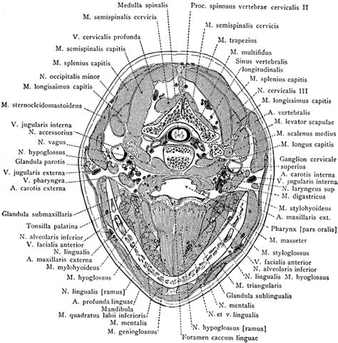 cross section of head cross section of head through the inferior portion of the