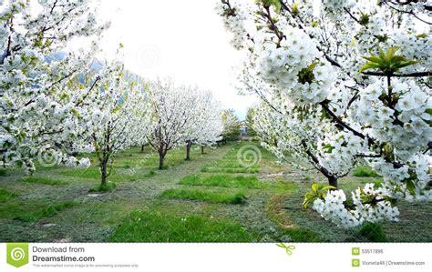 alberi da giardino fioriti giardino degli alberi fioriti primavera fotografia stock