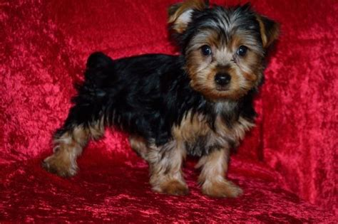 yorkie puppies for sale fresno ca kid friendly yorkies craigspets